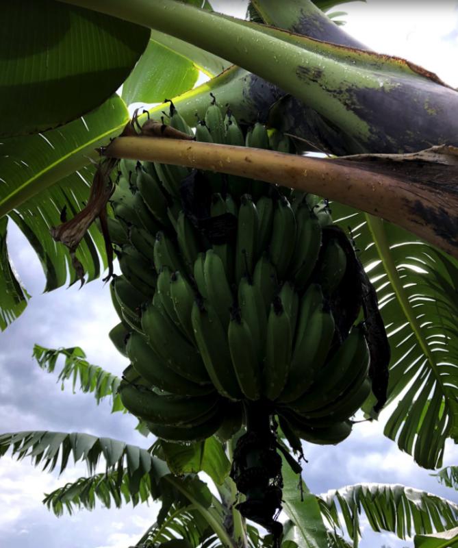 Bananenplantage in Afrika