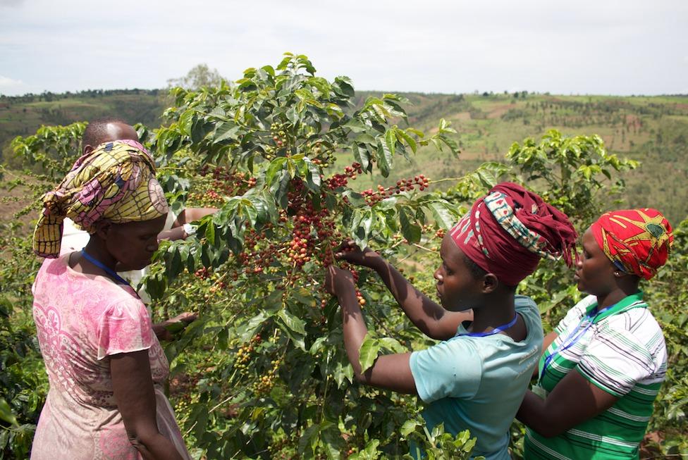 Koffiebessen worden geplukt tijdens het oogstseizoen in Rwanda