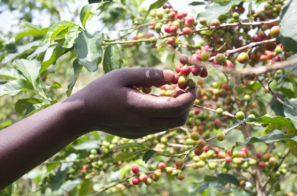 De koffiebonen in jouw proefpakket worden allemaal met de hand geplukt in Afrika.