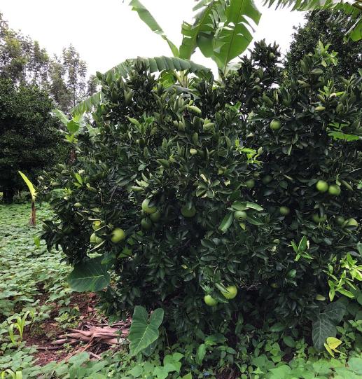 Gonzalve Rwagasana grows oranges