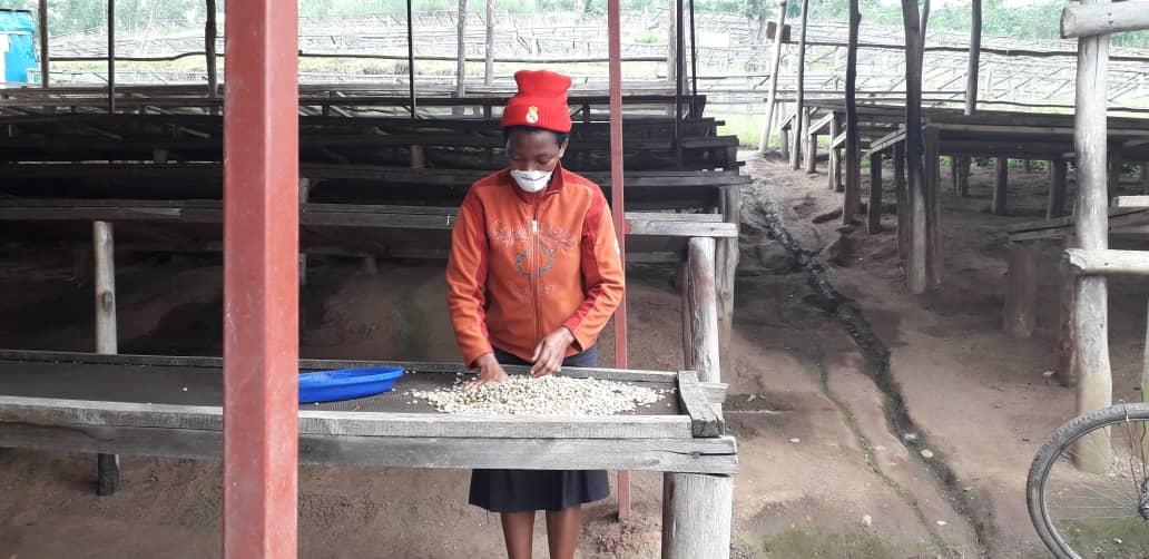 Koffie oogst 2020 in volle gang in Rwanda